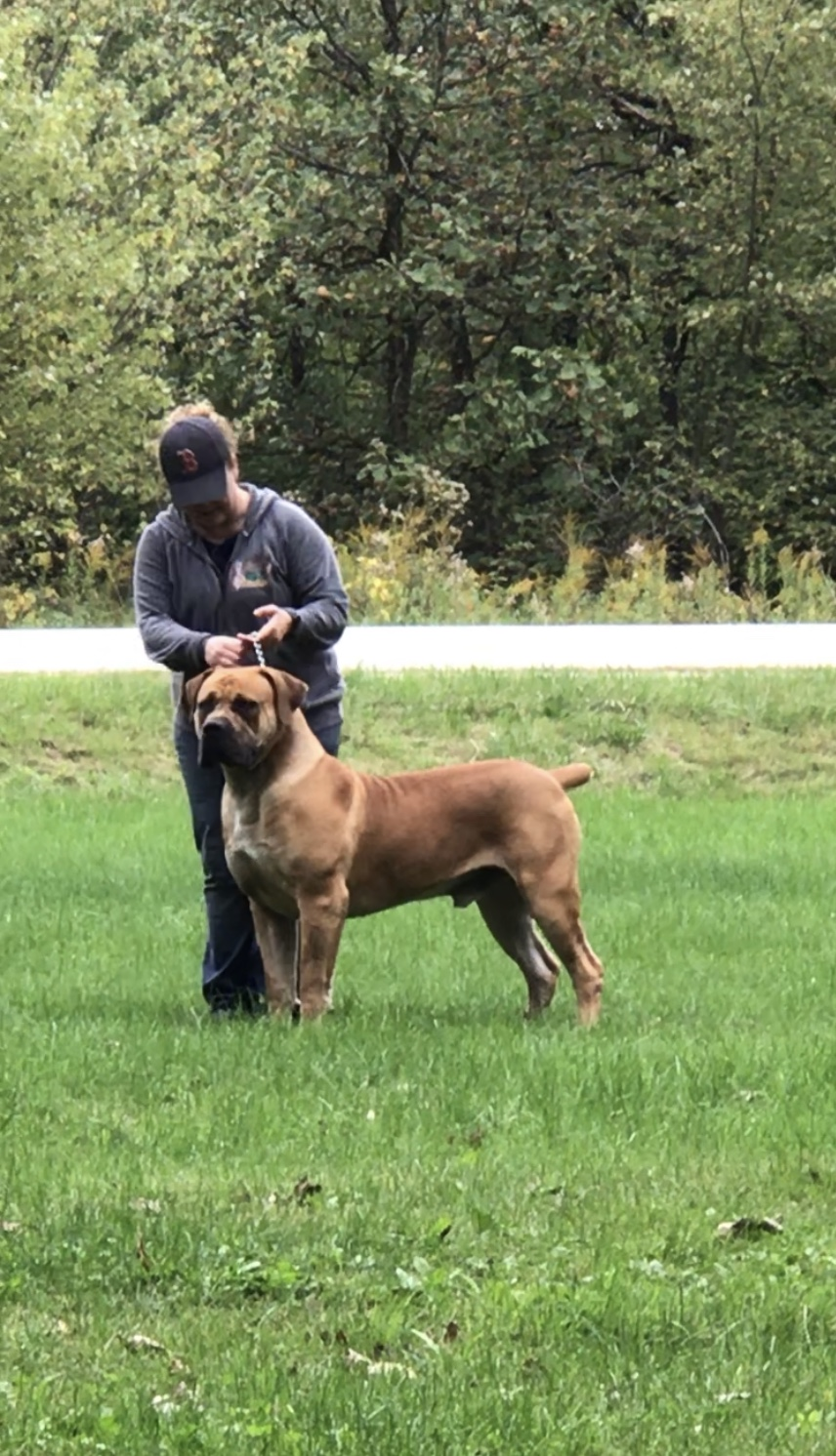 South African Boerboel Breeders Black Iron Boerboels Llc